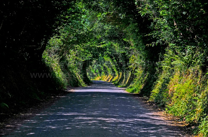 TUNNEL OF TREES PEMBROKESHIRE